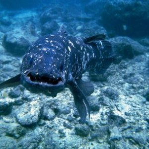 The coelacanth is thought to have changed very little over millions of years