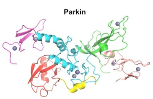 Scientists have discovered the three-dimensional structure of the protein Parkin. (Credit: Image courtesy of McGill University)