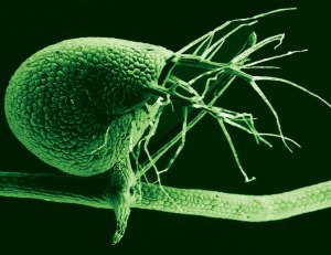 The humped bladderwort plant (shown here in a scanning electron micrograph) is a voracious carnivore, with its tiny bladders leveraging vacuum pressure to suck in bitty prey at great speed. CREDIT: Enrique Ibarra-Laclette, Claudia Anahí Pérez-Torres and Paulina Lozano-Sotomayor